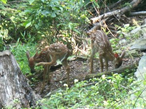 Image of Fawns